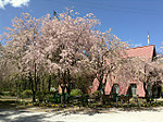 Cherrypark_fujimi